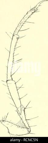 . Die Fauna südwest-Australiens. Ergebnisse der Hamburger südwest-australischen Forschungsreise 1905. Zoology -- Australia; Scientific expeditions -- Australia. 32 Georg Ulmer, Larven B (fßen, ? sp, ?), Diese Larven gehören wahrscheinlich auch zu den Triplectidinae, zeigen aber gegen die bisher bekannten schon bedeutendere Abweichungen. Kopf oben schwarzbraun, mit nur einem medianen gelben Punkte, die Seitenteile der Pleuren gelb bis graugelb, mit dunkleren Punkten; Unterfläche des Kopfes braun, mit meist undeutlichen dunkelbraunen Punkten; Pronotum dunkelbraun, nahe dem postsegmeutalen Rande  - Stock Photo