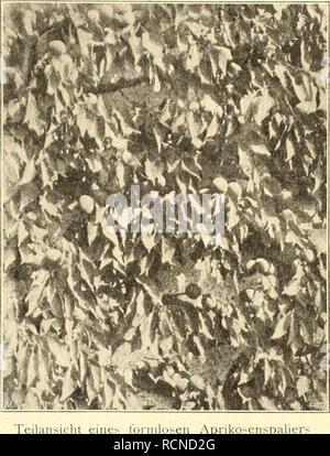 . Die Gartenwelt. Gardening. Die Garienweli. IX, 21 abgetragene Zweige gänzlich entfernt, dafür junge Zweige, von denen man im näclisten Jahr Früchte erwartet, angeheftet. Selbstverständlich sind alle mit Krankheiten oder Ungeziefer behafteten Zweige, Blätter etc. mit zu entfernen. Wie groß die Ernteerträge der auf der Abbildung walu- iiehmbaren Spaliere sind, ist daraus ersichtlich, das vier große Aprikosenspaliere, welche im Jahre 1897 angepflanzt wurden und gegenwärtig eine Fläche von 42 qm bedecken, im Sommer 1904 zirka 3500 Stück schön ausgebildete Früchte lieferten. Die beistehende Abbil - Stock Photo