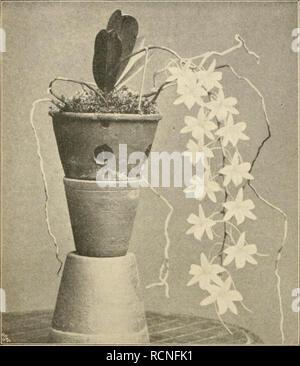 """. Die Gartenwelt. Gardening. 42 Die Gartenwelt. VII.. Angraccum sandeiianum. Originalaufnahme für die """"GartenweU"""". die Blüten angeordnet, fedes Blütenstielchen etwa 2 cm lang ist gestützt von einem kleinen dreieckigen, braunen Deckblätt- 1 hen. Kelch- und Blumenblätter sind einander in der Form fast gleich, auch die Lippe nicht ausgenommen. Der Sporn, in uil. hen die Lippe bei der Gattung Angraecum ausläuft, ist 2—3 mal solang als der Blütenstiel, vielfach ist die Spitze elegant aufwärts gelingen. Die Pflanze gedeiht am besten im Ostindierhause, in Ge- sellschaft der übrigen kleinen Artge - Stock Photo"""