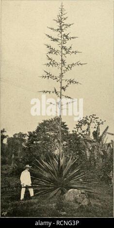 """. Die Gartenwelt. Gardening. VI, 31 Die Gartenwelt. 365 Meine erste Aussaat von Edel-Dahlien machte ich im Jahre 1896 mit Samen von """"Imperator"""", einer Züch- tung von Kaiser in Nordhausen, welche, wie alle halb- gefüllten Sorten, reichlich Samen lieferte. Dieser ersten Aussaat entstammen u. a. die noch jetzt beliebten """"Strah- lenlcrone"""" und """"Agir"""". Ferner entstammt derselben die halbgefüllte """"Irrlicht"""" welche indessen weniger Verbreitung als die beiden anderen gefunden hat, da man inzwischen grössere Ansprüche an eine gute Blume stellt. """"Irrlicht"""" war aber, wie die Mutt - Stock Photo"""