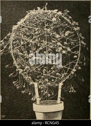 . Die Gartenwelt. Gardening. 364 Die Gartenwelt. VI, 31 lockeren, recht nahrhaften Erde einsenkt. Die Ficus durchziehen dann mit ihren Wurzeln, die aus den Abzugs- löchern und über den Rand der Gefässc hervorwachsen, sehr schnell den Boden und wachsen ebenso kräftig wie die ausgepflanzten Exemplare, natürlich eine sachgemässe Behandlung vorausgesetzt. Tropaeoluin Iricolorum.*) Jiin recht dankbares Pflänzchen ist dieses Tropaeolum fri- colorum welches, wie nebenstehende Abbildung zeigt, an einem Reifengerüst gezogen, einen un- vergleichlichen Effekt hervor- ruft. Die Blüten, welche in gros- ser - Stock Photo