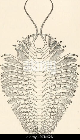 . Elements of comparative zoology. Zoology. CRUSTACEA. 225 animals, the Trilobites (fig. 53), which recent investiga- tions have shown to be crustaceans, but which can- not be more definitely placed within that group. They agree with neither Entomostraca nor Malacos- traca in their structure. They have a flattened body, in which head, thorax, and abdomen are readily dis- tinguished, and in which both thorax and abdomen consist of an axial portion, and two lateral regions or lobes, whence the name of the group. The head bears a pair of compound eyes, a single pair of antenna?, and four pairs of - Stock Photo