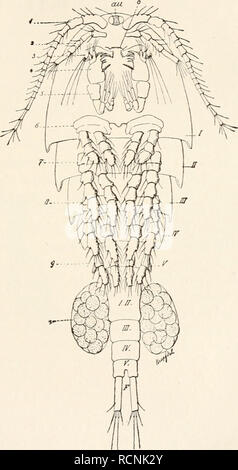 . Elements of comparative zoology. Zoology. CRUSTACEA. 223 they pass through a free-swimming nauplius stage, then attach themselves to a fish, after which the retrogression cat 4... FIG. 50.—A Copepod (Cyclops). From Hertwig. sets in. It is noticeable that the female becomes much more degenerate than the male.. Please note that these images are extracted from scanned page images that may have been digitally enhanced for readability - coloration and appearance of these illustrations may not perfectly resemble the original work.. Kingsley, J. S. (John Sterling), 1854-1929. New York, H. Holt and  - Stock Photo