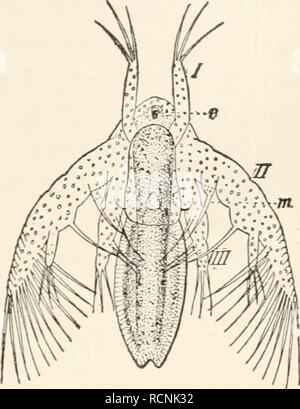 . Elements of comparative zoology. Zoology. CRUSTACEA. 221. the ducts of the reproductive organs open to the exterior in the thoracic region, never in the abdomen. In almost all forms the eggs are carried about by the mother until they are hatched. In almost all the lower Crustacea the young escapes from the egg in a very immature condition, known as a Nauplius (fig. 49), a name given years ago under the be- lief that it was an adult. The nauplius has an unsegmented body, a single median eye, and only three pairs of appendages -antennulae, antennae, and mandibles—the antennulse being solely se - Stock Photo