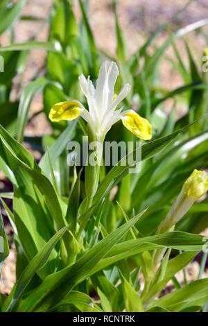 Bukhara iris, corn leaf Iris and horned iris, Buchara-Schwertlilie, Geweih-Schwertlilie, buharai noszirom, Iris bucharica - Stock Photo