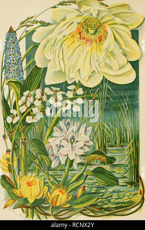 . Die Gartenwelt. Gardening. Die Gartenwelt, 5. Jahrg. ^^JBtS». FREMDLÄNDISCHE WASSERPFLANZEN. Nach der N.ntur aquarelliert von Adeline Herbst.. Please note that these images are extracted from scanned page images that may have been digitally enhanced for readability - coloration and appearance of these illustrations may not perfectly resemble the original work.. Berlin : G. Schmidt - Stock Photo