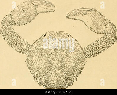 """. Die Decapoda Brachyura der Siboga-Expedition. Siboga Expedition; Decapoda (Crustacea); Crabs; Scientific expeditions. 224. Fig. 125. Xiicia moJesla q"""". X 'S (X '/c) Cardialregion seitlich zu begrenzen. Die Stirnregion hat eine mediane Furche und ist durch eine undeutliche, seichte Ouerfurche gegen den übrigen Teil des Cephalothorax abtjegrenzt. Die ganze Oberfläche ist dicht mit abgeplatteten Körnchen be- deckt, welche mit blossem Auge un- sichtbar sind. Die Stirn ist bei Betrachtung von oben in der Medianlinie nur etwas ein- geschnitten. Am kreisförmigen Augen- höhlenrand finde ich nur - Stock Photo"""