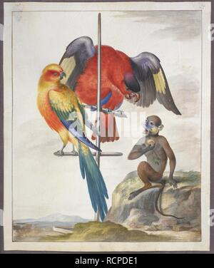 Two parrots and a monkey. Drawings of birds. First half of the 18th century. Source: Add. 5263, f.39. Author: EDWARDS, GEORGE. - Stock Photo