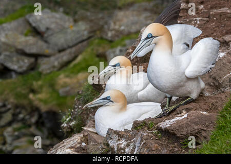 Northern gannets (Morus bassanus) breeding on nests in sea cliff at seabird colony in spring along the Scottish coast, Scotland, UK - Stock Photo