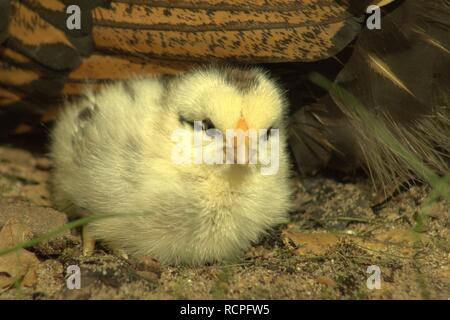 Yellow Chick With Black Highlights Sitting Near His Mother - Stock Photo