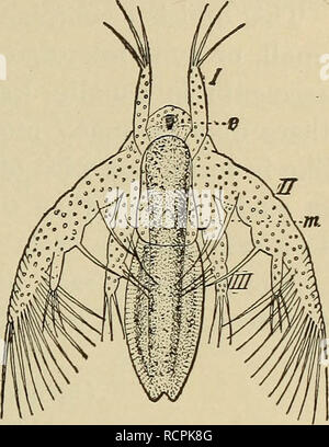 . Elements of comparative zoology. Zoology. CRUSTACEA. 221. the ducts of the reproductive organs open to the exterior in the thoracic region, never in the abdomen. In almost all forms the eggs are carried about by the mother until they are hatched. In almost all the lower Crustacea the young escapes from the egg in a very immature condition, known as a Nauplius (fig. 49), a name given years ago under the be- lief that it was an adult. The nauplius has an unsegmented body, a single median eye, and only three pairs of appendages —antennulse, antennae, and mandibles—the antennulse being solely se - Stock Photo