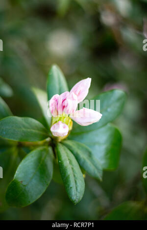 Rose colored bud of a white rhododendron flower starting to bloom in a garden - Stock Photo