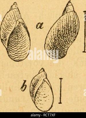 . Deutsche excursions-mollusken-fauna. Mollusks. 344 / 3. Amphibina Pfeif/eri, Bossmaessler. Succinea Pfeifferi, Rossm. Icon. fig. 46. — — Kobelt, Nassau p. 162 t. 3 fig. 2. — Slavik, Böhmen p. 94 t. 1 fig. 3. 4. Amphibulina putris var. fulva et elongata, Hartm. in Sturm Fauna VI. 8 t. 6. u. 7. Tapaäa putris, Studer, Kurz. Verz. p. 86. Anatomie: Lehmann, Stettin p. bi t. 9 fig. 14. Thier: gewöhnlich dunkler als bei der vorigen Art; Kiefer hornig, mehr lang als breit, dunkelgelb; Mittelplatte mit einem ziemlich starken zugespitzten Mittelzähnchen; Seitenflügel schief, aber nicht weit aus einand - Stock Photo