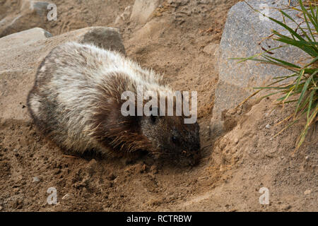 WA15768-00...WASHINGTON - A hoary marmot relaxing on the loose soil of the Golden Gate Trail in the Paradise area of Mount Rainier National Park. - Stock Photo