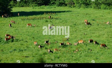 Red deer (Cervus elaphus). Herd of deer in a meadow. Bieszczady Mountains. Poland - Stock Photo