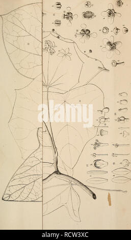 . Diagnoses plantarum novarum Asiaticarum. Plants. . Please note that these images are extracted from scanned page images that may have been digitally enhanced for readability - coloration and appearance of these illustrations may not perfectly resemble the original work.. Maximowicz, C. J. , 1827-1891. Petropoli, Imperialis Academiae Scientiarum - Stock Photo