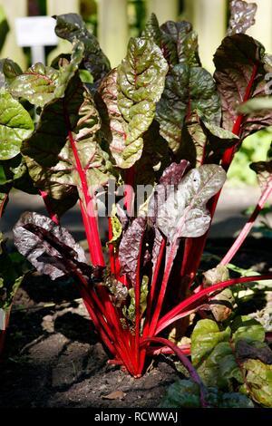 Garden Rhubarb (Rheum rhabarbarum) - Stock Photo