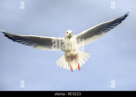 Laridae - seagull family birds - Stock Photo