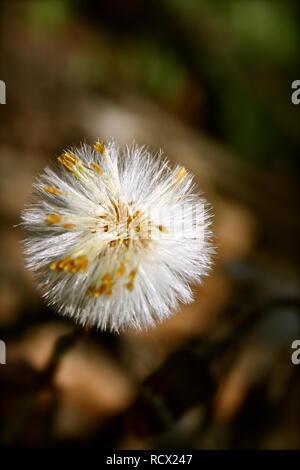 White Sow Thistle - Macro photography - Stock Photo
