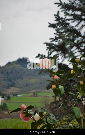 Camellias in front of hill view - Stock Photo
