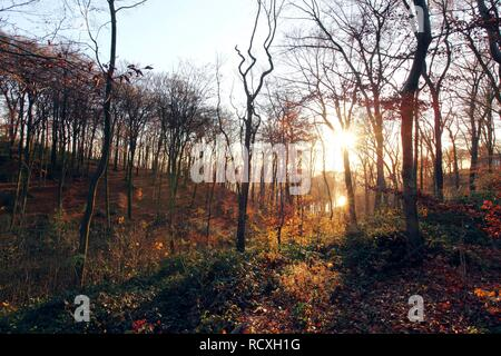 Forest, deciduous trees in autumn, Essen, North Rhine-Westphalia - Stock Photo