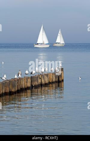 Seagulls resting on breakwaters, sailing boats, Kuehlungsborn-Ost, Baltic Sea, Mecklenburg-Western Pomerania - Stock Photo