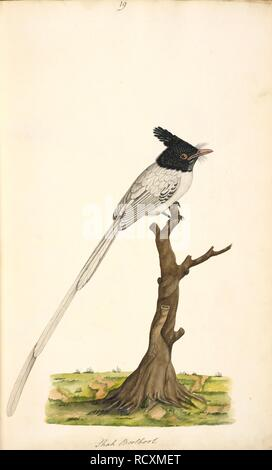 Asian Paradise-Flycatcher. Terpsiphone paradisi' Original inscriptions: 'Shah Boolbool' White male. Wellesley Albums. 1798 - 1805. Watercolour. Source: NHD 29/19. Author: ANON. - Stock Photo