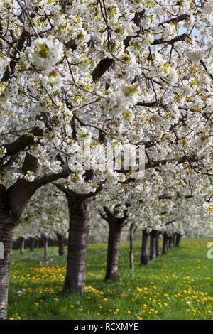 Cherry trees in bloom, Obereggen, Markgräflerland, Black Forest, Baden-Württemberg, Germany - Stock Photo