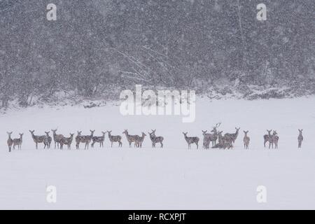 Red deer (Cervus elaphus). Swarm of deers in a meadow. - Stock Photo