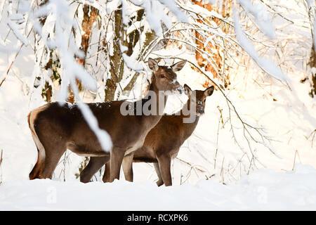 Red deer (Cervus elaphus). Red hind in the forest. - Stock Photo