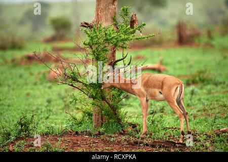 Impala in Kruger National Park - Stock Photo
