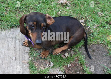 Dachshund en Reposo - Stock Photo