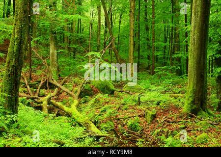 Beautiful wild forest. Hulskie Nature Reserve, Bieszczady Mountains. Poland - Stock Photo