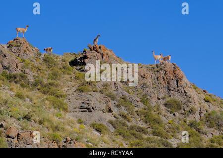 Vicunas, Vicugna Vicugna, relatives of the llama, standing on a hill in the andes, Uspallata, Mendoza, Argentina - Stock Photo