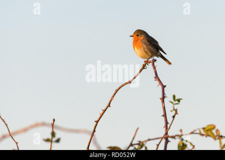 A robin (erithacus rubecula) perched high on the top of a branch with thorns in the late afternoon sunshine. - Stock Photo