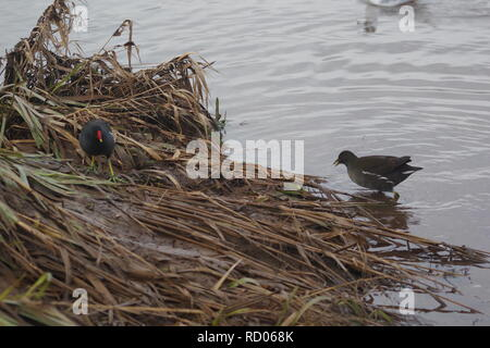 Juvenile Moorhen (Gallinula chloropus) on the Waters of the Flood Relief Channel. Trews Weir, Exeter Quay, Devon, UK. Winter, 2018. - Stock Photo