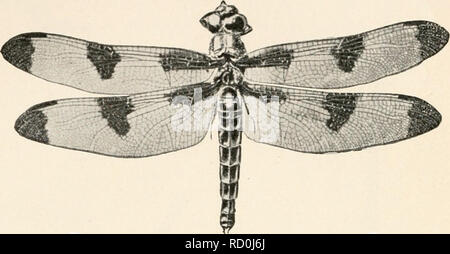 . Elementary entomology. Insects. FIG. 132. Dragon-fly (Libellulapnlchella}. (Slightly reduced) A, last nymphal skin ; B, adult. (After Folsom) SUMMARY OF THE NERVE-WINGED INSECTS AND THEIR RELATIVES A. With complete metamorphosis: Order Neuroptera. Wings equal; numerous cross veins. The dobsons (Sialidae). Larvae aquatic. The aphis-lions (Chrysopidae). Feed on aphides, etc. The ant-lions (Myrmeleonidae). Larvae make pits in soil. Order Mecoptera. Scorpion-flies. Elongate head, and tip of abdomen fang- like. Larvae live underground. Order Trichoptera. Caddis-flies. Wings with few cross veins a - Stock Photo