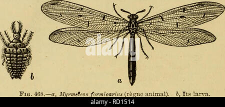 . Elementary text-book of zoology, general part and special part: protozoa to insecta. Animals. 564 INSECTA. Fam. Hemerobidae (Florfliegen). Head vertical ; antenna filiform. The two pairs of wings are transparent like glass and are nearly equal in size. The larvfe suck insects and spiders. Mantispajyagana Fabr. Anterior legs predatory; prothorax much elongated (fig. 467, a, b, c). The larvEe, after eight months' fasting, bore their way by means of their sucking forceps into the ovisacs of spiders, and suck out the eggs and the young. After the first moult, the legs are reduced to short stumps - Stock Photo