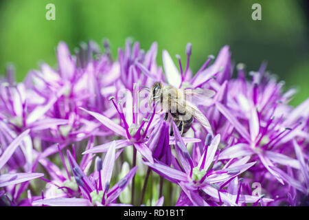 Bee collects nectaring on purple Allium hollandicum blooming flower, spring sunny day in garden - Stock Photo