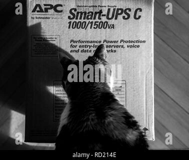 PARIS, FRANCE - MAR 29, 2018: Curious cat inspecting APC Smart-UPS C 1000VA LCD 230V enterprise-level uninterruptible power supplies made by American Power Conversion  office wooden floor - Stock Photo