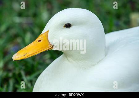 A domestic White Pekin, Pekin or Long Island Duck (Anas platyrhynchos domesticus) sittlinng on grass.  - Stock Photo