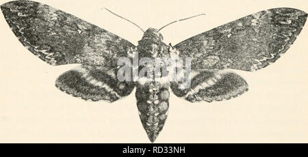 . Elementary entomology. Insects. FIG. 331. Typical sphinx moths (Deilephila lincata Fab. above and Pholns achemon below) (After Lugger). FIG. 332. Southern tobacco-worm moth. (Natural size) (After Britton) 210. Please note that these images are extracted from scanned page images that may have been digitally enhanced for readability - coloration and appearance of these illustrations may not perfectly resemble the original work.. Sanderson, Dwight, 1878-1944; Jackson, C. F. (Cicero Floyd), b. 1882. Boston, New York [etc. ] Ginn and Company - Stock Photo
