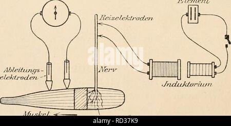 . Elektrophysiologie menschlicher Muskeln. Electrophysiology. Abb. 2. Kurve eiues doppelphasisclien Aktionsstromes (ausgezogen), entstanden durch Superposition zweier <'inphasischen Ströme (gestrichelte Kurven). Die beiden M ixima der einphasischen Strome hauen kleineren Abstand als die des resultierenden Doppelphasischen. (Nach Hermann.) daà beide zwischen dem nervösen Ãquator und einem Muskel- ende anliegen, nicht etwa die eine diesseits, die andere jenseits vom nervösen Ãquator. Erhält man aber doppelphasische Ströme, so beweist dies,daà eineKontraktionswelle in der Cal^rtfiar/Lefcr - Stock Photo