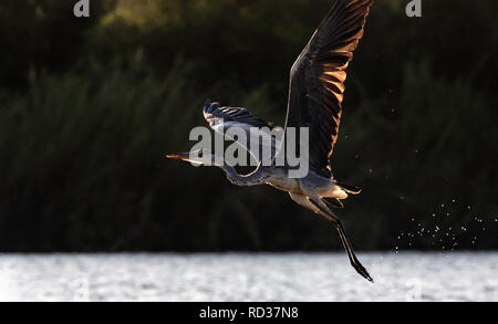 A grey heron (Ardea cinerea) taking off from  the shallows of the Zambezi river with light streaming through its wing. - Stock Photo