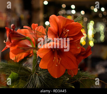 Close-up image from a bouquet of red Amaryllis (Amaryllidaceae), plant genus St. Joseph's lilies (Hippeastrum) - Stock Photo