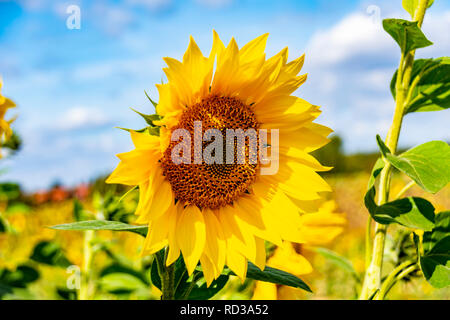 Close-up of a bright yellow sunflower (Helianthus annuus) against a blue sky. - Stock Photo