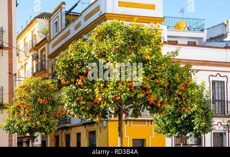 Orange trees on a public street in Seville, Spain - Stock Photo
