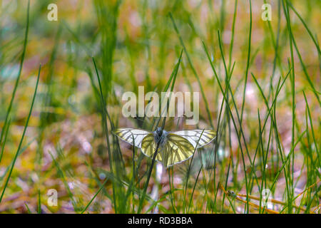 Butterfly green-veined white (Pieris napi) in the grass on a sunny spring day - Stock Photo