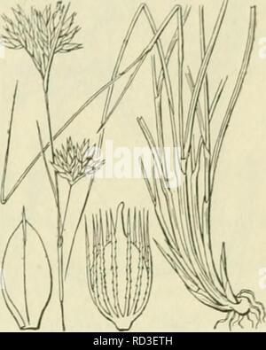 . De flora van Nederland. Plants. FAMILIE 17. CYPERACEAE. — 415. Rhynchospora alba Pig. 343. schutbladen. Filucmck'kborstcls 9-13, riiywaarts ruw , korter dan of even lanj,' als de vrucht. K. allm blz. 415. B. Plant met kruipenden wortelstok. Onderste schutblad ver boven de eindelinj,'sche speer uitstekend. Bloenidekborstels 5-(), naar voren ruw, veel langer dan de vrucht. R. lQ8ca blz. 415. R. alba') Vahl. Witte grasbies (tig. 343). Deze plant vormt losse zoden. De wortelstok vormt meest alleen korte Liitloopers. De onderste bladen hebben een grijze of grijsbruine scheede en meest een nauweli - Stock Photo