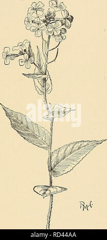 . Cyclopedia of American horticulture, comprising suggestions for cultivation of horticultural plants, descriptions of the species of fruits, vegetables, flowers, and ornamental plants sold in the United States and Canada, together with geographical and biographical sketches. Gardening. HESPERANTHA HESPEEOCHIBON 739 HESFERANTHA (Greek, evening flower). IricUeem. Twenty-six species of Cape bulbs, 3 of whicli are pro- curable from Dutch growers. They belong to the Ixia tribe and are much inferior to Ixias for general cultiva- tion, but have fragrant flowers, opening at evening. The genus is stil - Stock Photo